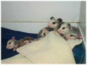Young Virginia Opossum