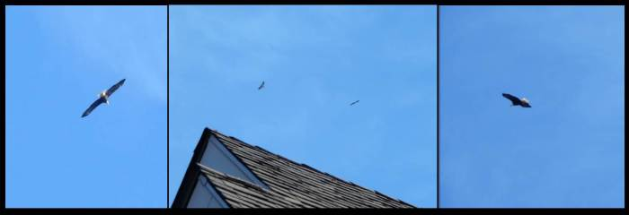 Bald Eagles Over House Feb 2016