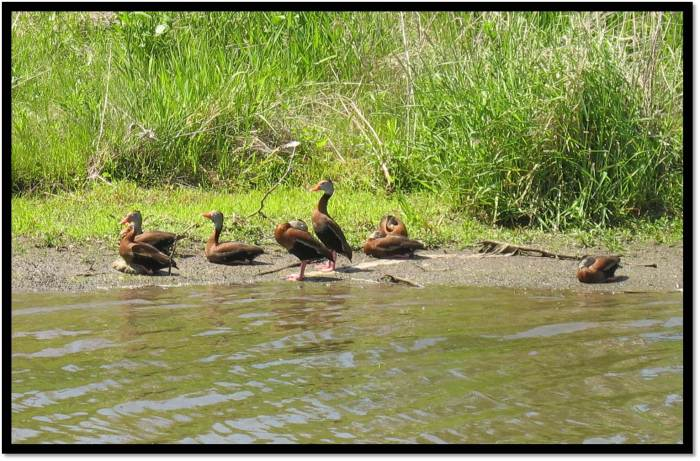 Black Bellied Whistling Ducks Yorkville IL May 2014