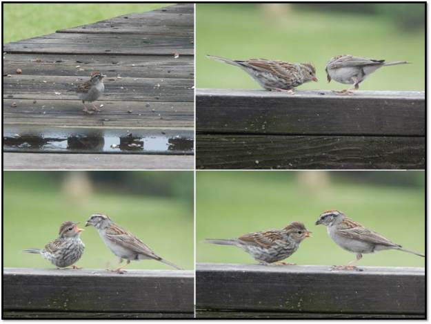 Chipping sparrow feeding young July 2015
