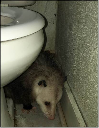 Ciega Opossum in Bathroom Aug 2017