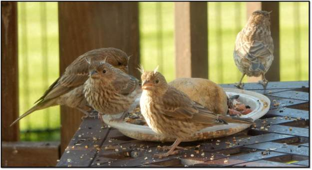 Fledgling House Finch May 2016