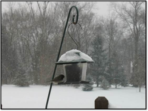 junco on feeder