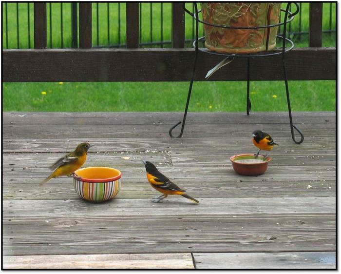 male female Baltimore orioles eating 2014