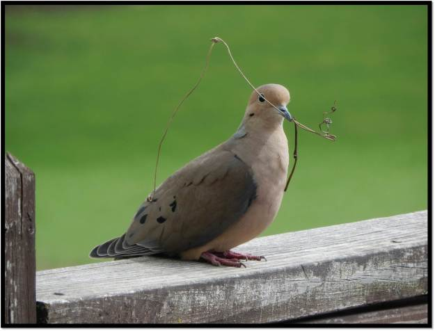 mourning dove with twig