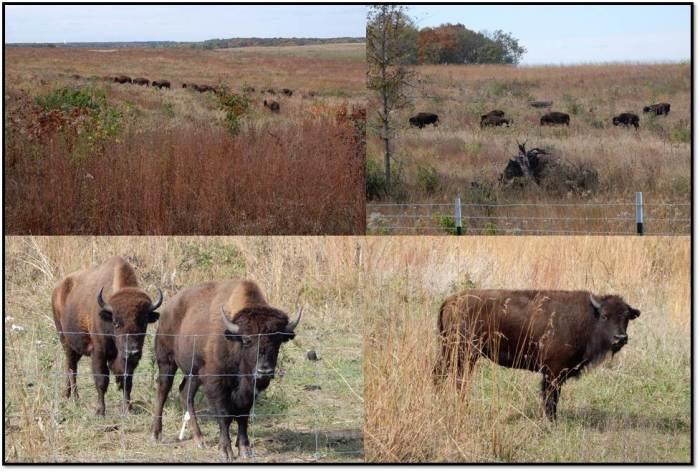 nachusa-grasslands-bison-oct-2016