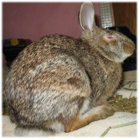 noah cottontail rabbit