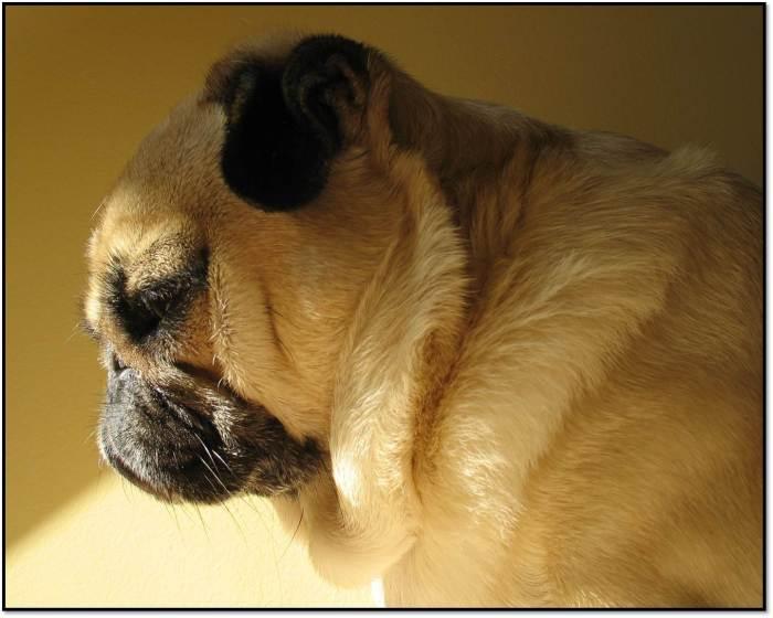 Peanut Pug