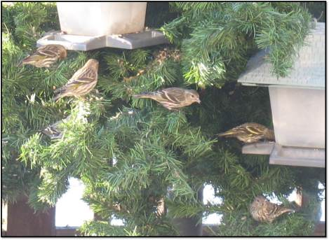 pine siskins all in a row