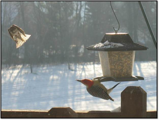 Red Bellied Woodpecker and Sparrow