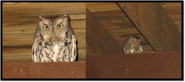 Screech owl under deck Feb 2014