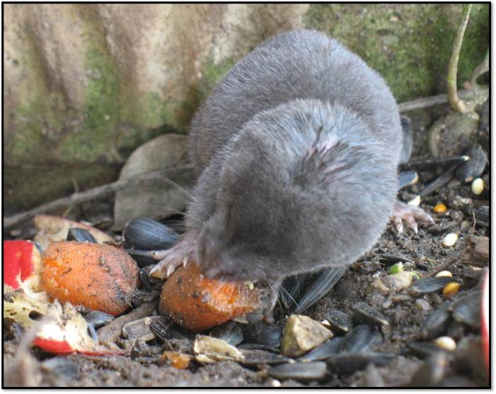 shrew in garden