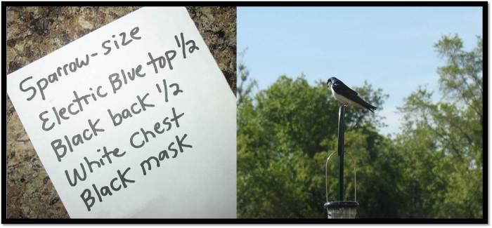 Tree Swallow 2014
