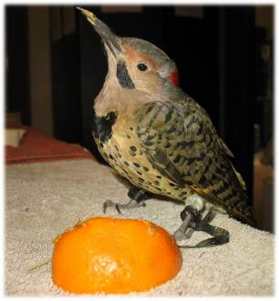 Wooka the Northern Flicker
