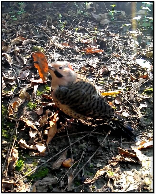 Wooka with impaled leaf on beak