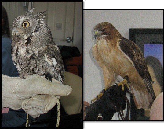 SOAR Raptor Program Screech Owl Eastern Red Tailed Hawk
