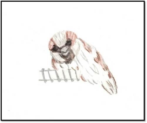sparrow sketch