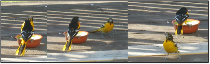 caught by female oriole