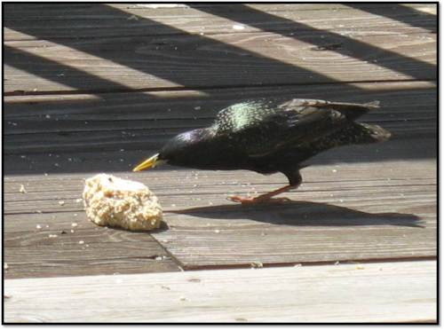 one legged starling eating