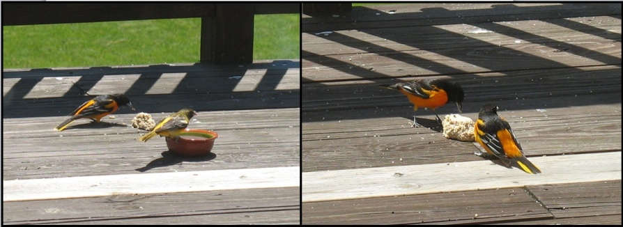 orioles eating suet