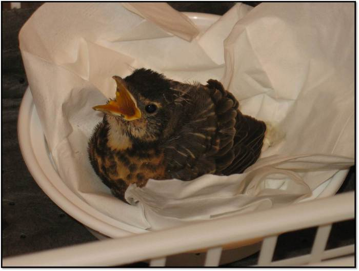 orphaned baby robin guest