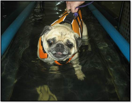 Peanut on the underwater treadmill