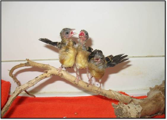 American Goldfinch sibling orphans