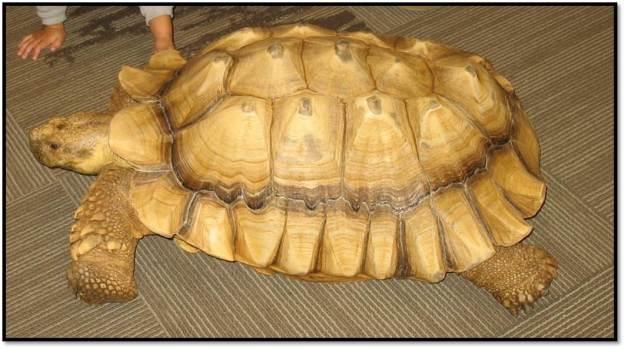 African Spurred tortoise_Tank_Jim Nesci