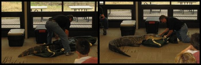 Alligator in Reverse_Bubba_Jim Nesci