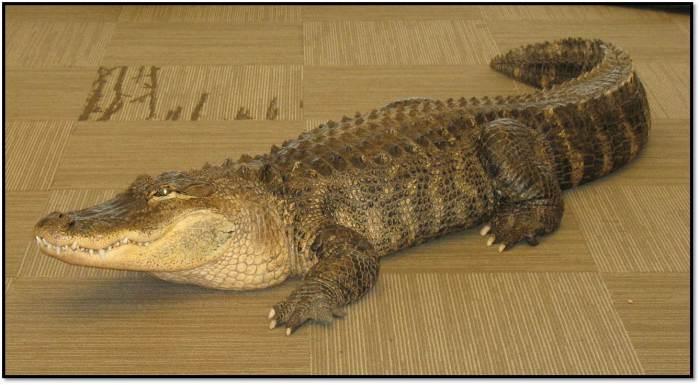 Alligator_Bubba_Jim Nesci
