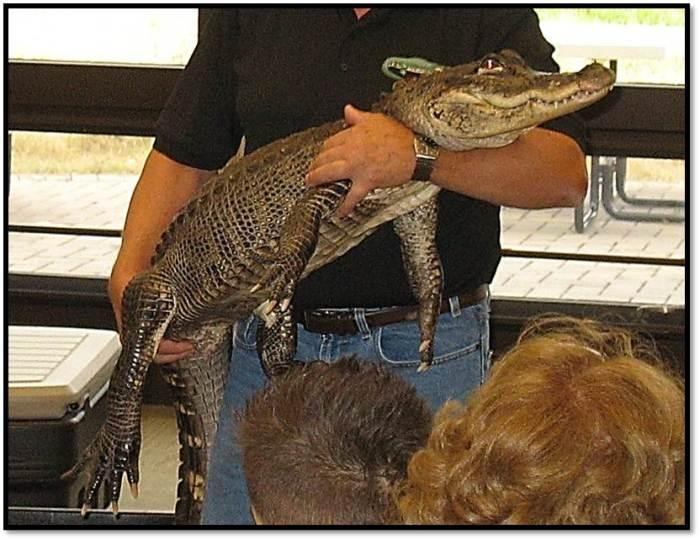 North American Alligator_Lucky_Jim Nesci