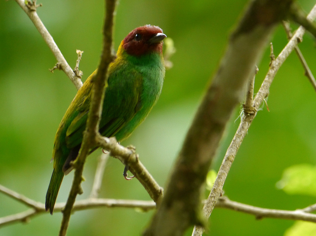 8767703589_f1c00b2ab5_z Bay Headed Tanager JPC Raleigh