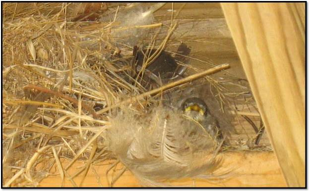 baby sighting in nest under deck June 2014