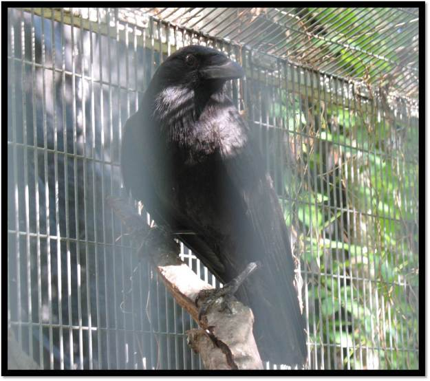 American Crow Wildlife Rehabilitation June 2014