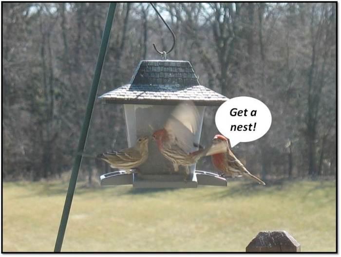 Finch Courtship Get a Nest