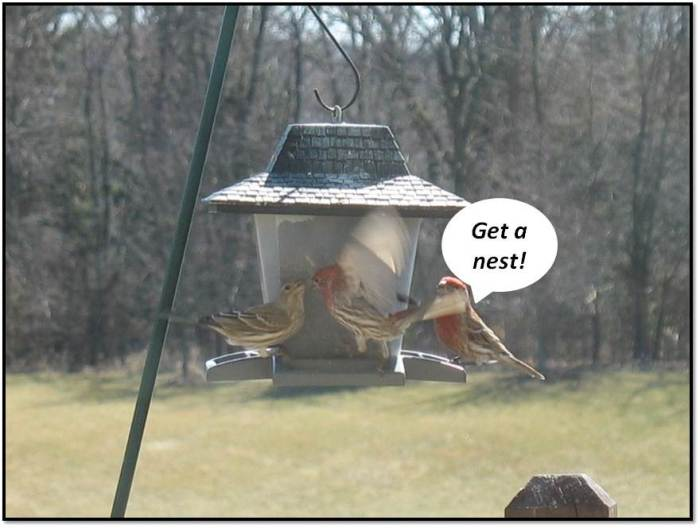 Finch Courtship Get a Nest