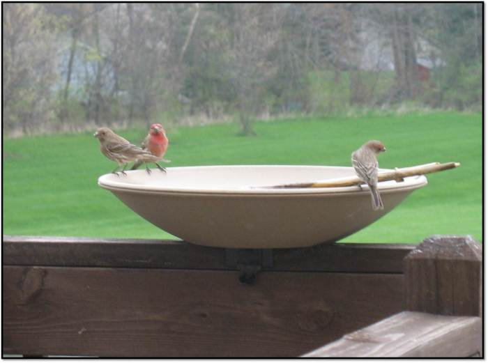 House Finch 3 is a Crowd