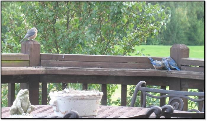 bluebirds oct 2014 1