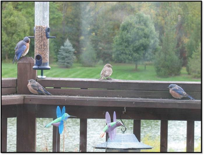 bluebirds oct 2014 5
