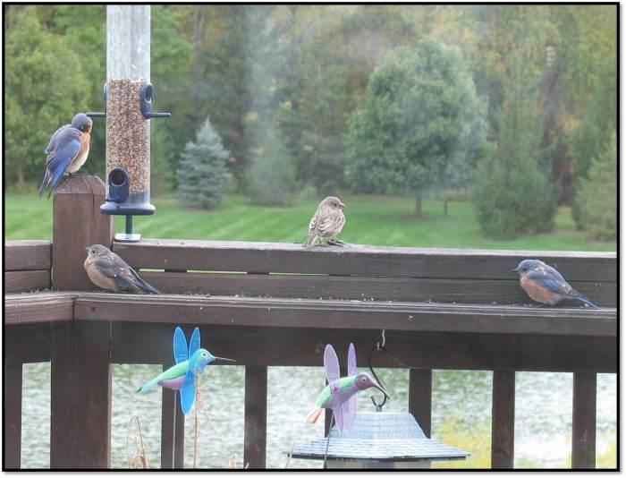bluebirds oct 2014 5