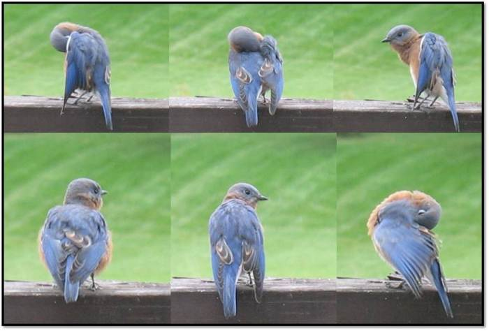 bluebirds oct 2014 8