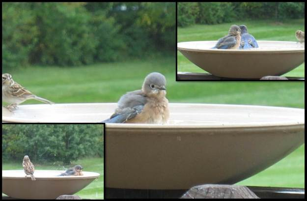 bluebirds oct 2014 9