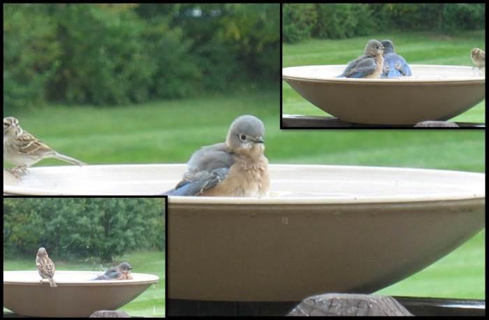 bluebirds oct 2014 9
