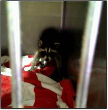 raccoon after intake June 2015