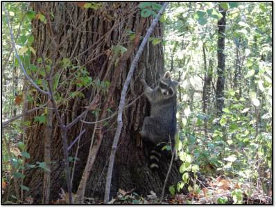 raccoon climbs tree for first time