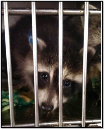Raccoon in rehab July 2015