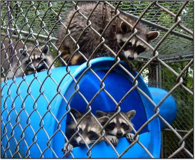 Raccoons in outside enclosure 2015