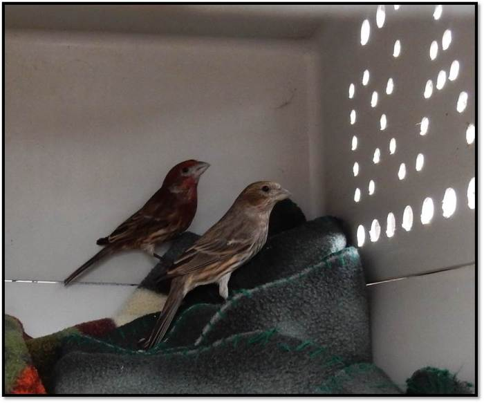 male female house finch ready for release