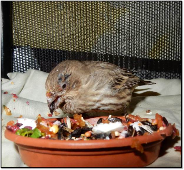 sick female finch 24 hrs after medication conjunctivitis