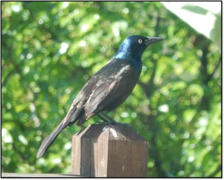 Adult Common Grackle